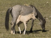 Pryor Mountains, Montana, wild horses, palomino colt under mare's belly