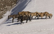 Pryor Mountains, Montana, wild horses, band of horses walking in the snow