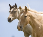 Pryor Mountains, Montana, wild horses, palomino mare and yearling stand together