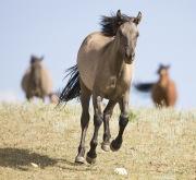 Pryor Mountains, Montana, wild horses, grulla filly runs