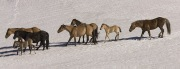 Pryor Mountains, Montana, wild horses, stallion driving his band in the snow