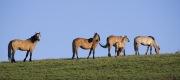 wild horses - dun stallion, two dun mares, dun foal and young grulla mare, Pryor Mountains, MT