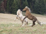 Wild horses, mustangs, in Pryor Mountains, MT - palomino and red palomino stallions posture (Cloud and Bolder)