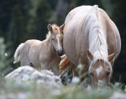 wild horses - palomino mare and foal, Pryor Mountains, MT