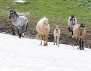 Wild horses, mustangs, in Pryor Mountains, MT - blue roan stallion's band going up snowbank
