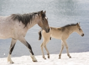 Wild horses, mustangs, in Pryor Mountains, MT - yearling and foal walk on snow