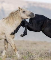 Wild horses, mustangs, in Pryor Mountains, MT - black mare kicks red palomino stallion (Cloud)