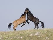 wild horses - dun bachelor stallion and black bachelor stallion playing, Pryor Mountains, MT