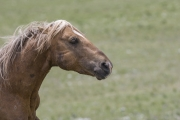 Wild horses, mustangs, in Pryor Mountains, MT - Palomino stallion chases off a rival