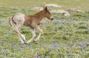 Wild horses, mustangs, in Pryor Mountains, MT - red roan filly runs