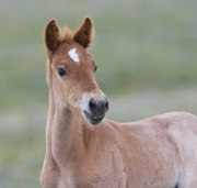 Wild horses, mustangs, in Pryor Mountains, MT - red roan filly