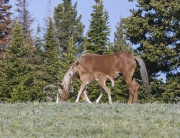 Wild horses, mustangs, in Pryor Mountains, MT - Mare and foal