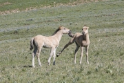 Wild horses, mustangs, in Pryor Mountains, MT - dun filly and colt play