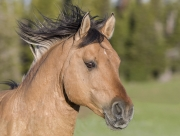 Wild horses, mustangs, in Pryor Mountains, MT - Dun stallion runs