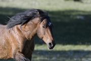 Wild horses, mustangs, in Pryor Mountains, MT - Bay stallion runs ears back