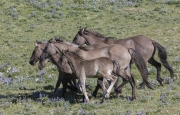 Wild horses, mustangs, in Pryor Mountains, MT - Grulla band runs together