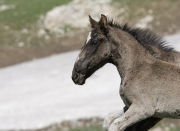 Wild horses, mustangs, in Pryor Mountains, MT - two grulla foals run in step