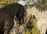 Pryor Mountains, Montana, wild horses, two stallions nose to nose