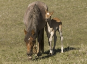 Pryor Mountains, Montana, wild horses, filly rubs against red roan mare