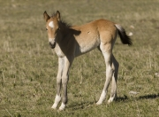 Pryor Mountains, Montana, wild horses, filly stands and looks