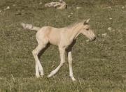 Pryor Mountains, Montana, wild horses, palomino colt