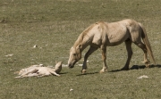 Pryor Mountains, Montana, wild horses, palomino stallion wakes up palomino colt