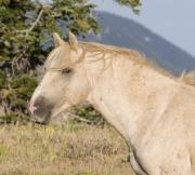 Wild horses, mustangs, in Pryor Mountains, MT - red palomino stallion (Cloud)