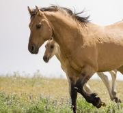 Pryor Mountains, Montana, wild horses, red dun stallion and dun filly running