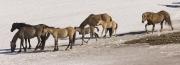 Pryor Mountains, Montana, wild horses, stallion driving his band across the snow