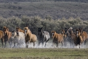 Cowgirl running horse with group of horses through water at Sombrero Ranch, Craig, Colorado