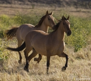red dun mustang mares at Return to Freedom Sanctuary in Lompoc, CA