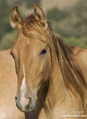 red dun filly at Return to Freedom Sanctuary in Lompoc, CA