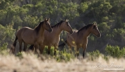 three red dun mustang mares standing at Return to Freedom Sanctuary in Lompoc, CA