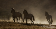 mustang mares running in dust at Return to Freedom Sanctuary in Lompoc, CA