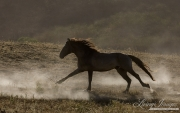 grulla mustang stallion running in dust at Return to Freedom Sanctuary in Lompoc, CA