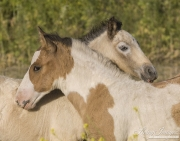 pinto mustang foals mutual groom at Return to Freedom Sanctuary in Lompoc, CA