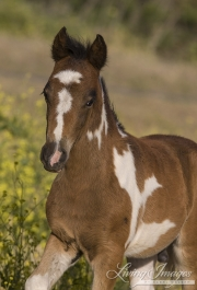 pinto mustang colt at Return to Freedom Sanctuary in Lompoc, CA