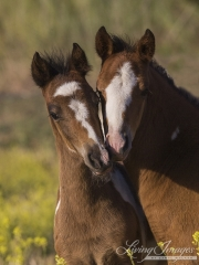 pinto mustang foals play at Return to Freedom Sanctuary in Lompoc, CA