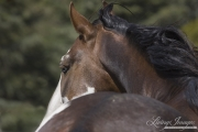 Pinto mustang stallion at Return to Freedom Sanctuary in Lompoc, CA