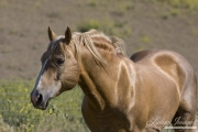 Palomino mustang stallion at Return to Freedom Sanctuary in Lompoc, CA