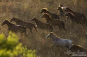 mustangs run at Return to Freedom Sanctuary in Lompoc, CA