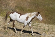 Mustang at Return to Freedom Sanctuary in Lompoc, CA, pinto stallion trots