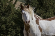 Mustang at Return to Freedom Sanctuary in Lompoc, CA, pinto