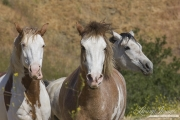 Mustang at Return to Freedom Sanctuary in Lompoc, CA, three horses