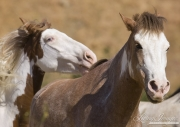 Mustang at Return to Freedom Sanctuary in Lompoc, CA, horses play