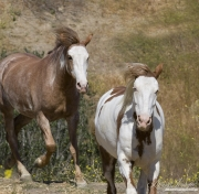 Mustang at Return to Freedom Sanctuary in Lompoc, CA, two pintos run