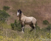 Mustang at Return to Freedom Sanctuary in Lompoc, CA, stallion on hillside