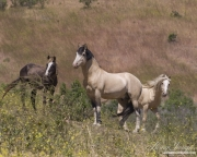 Mustang at Return to Freedom Sanctuary in Lompoc, CA, stallion, mare and yearling on hillside