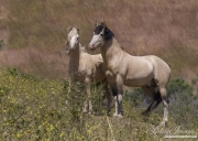 Mustang at Return to Freedom Sanctuary in Lompoc, CA, stallion and yearling on hillside