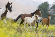 Mustang at Return to Freedom Sanctuary in Lompoc, CA, mares and foals run